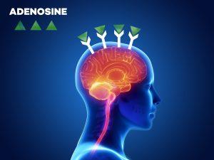 Image of Adenosine and adenosine receptors in the brain