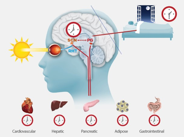 How blue light affect the brain │21 Reasons You're Fatigued (Fatigue Causes And How To Fix Fatigue), theenergyblueprint.com