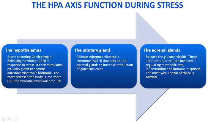 Infographic of how the HPA Axis Functions. Stress causes fatigue and throws the HPA Axis off │ Why Stres Causes Fatigue And How To Fix It, www.theenergyblueprint.com