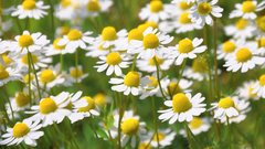 Chamomile is one of the best sleep supplements for deep sleep | The Top 12 Natural Sleep Supplements, theenergyblueprint.com