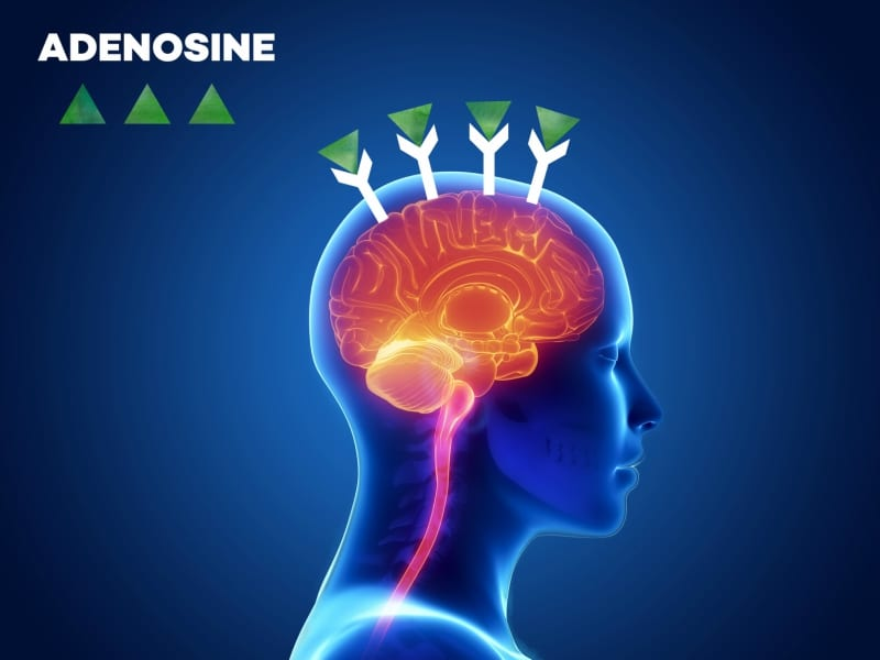 Adenosine bunding to receptors in the brain - infographic │ Why Does Coffee Make Me Tired? │How Caffeine Is Quietly Sabotaging Your Energy Levels (without your realizing it) │ Can coffee make you sleepy, theenergyblueprint.com