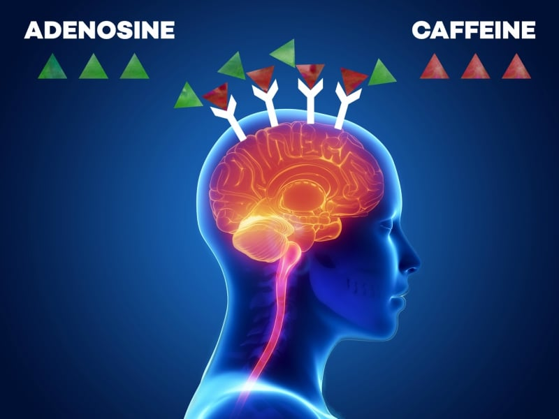 Fight between adenosine and caffeine over the receptors in the brain - infgraphic │ Why Does Coffee Make Me Tired? │How Caffeine Is Quietly Sabotaging Your Energy Levels (without your realizing it) │ Can coffee make you sleepy, theenergyblueprint.com