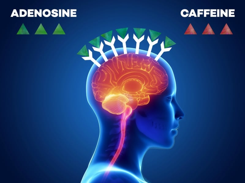 The Brain Produces More Adenosine and adenosine receptors - infographic │ Why Does Coffee Make Me Tired? │How Caffeine Is Quietly Sabotaging Your Energy Levels (without your realizing it) │ Can coffee make you sleepy, theenergyblueprint.com