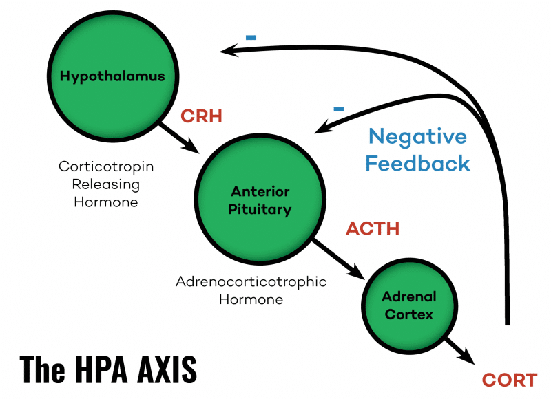 The HPA AXIS │ Is Adrenal Fatigue Real, theenergyblueprint.com