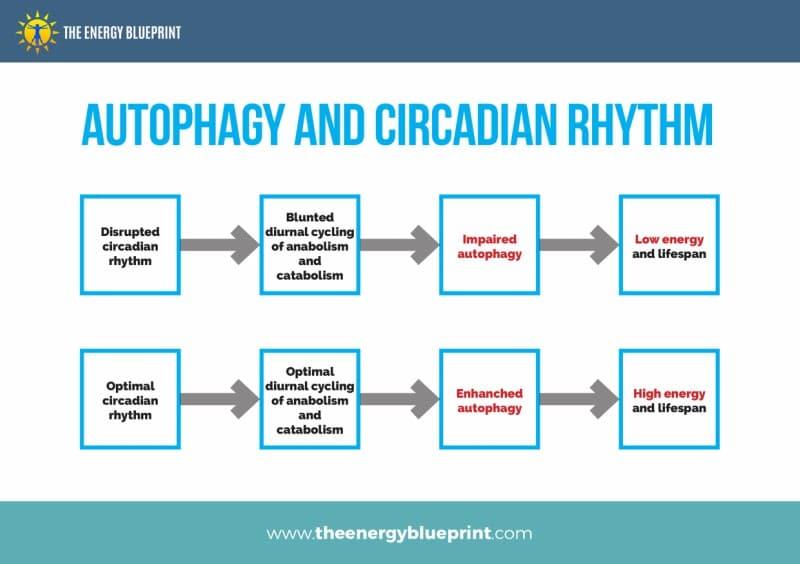 Authophagy and Circadian Rhythm - Why am I so tired, theenergyblueprint.com