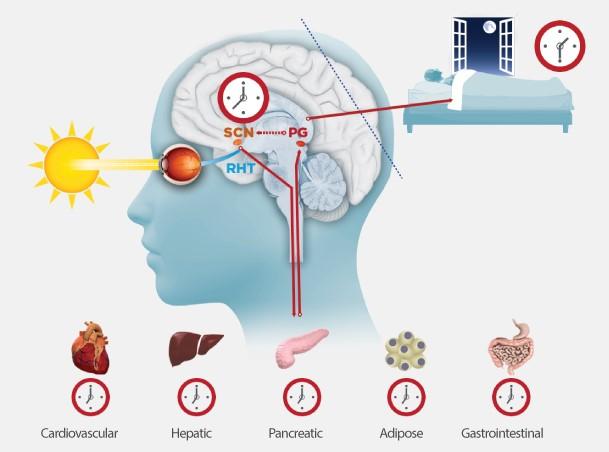 Internal Clock │ Why am I so tired, theenergyblueprint.com