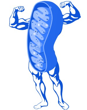 Increase Mitochondrial Health - Benefits Of Saunas